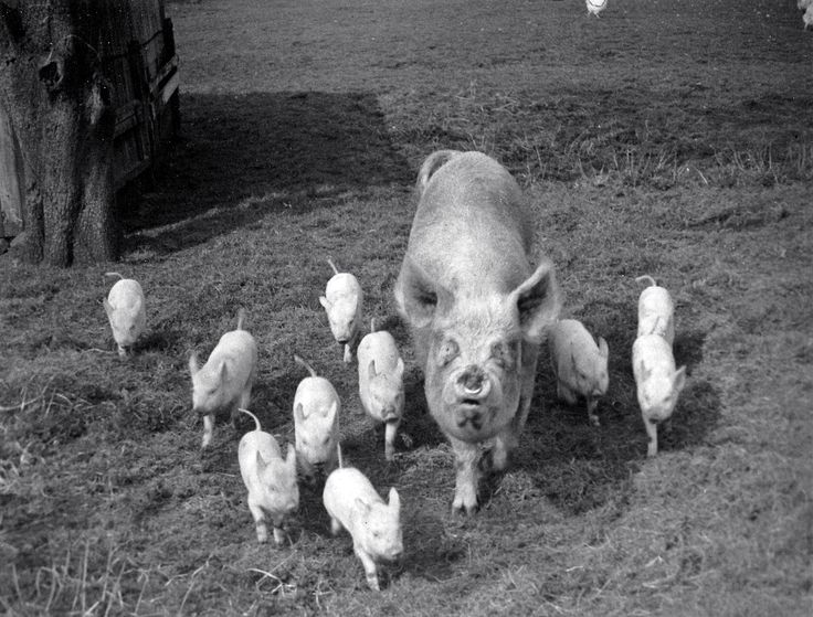 1957. Pig family coming to me in the Gateway, in the Pear Orchard, at Oakfild Farm, Chat Moss, Irlam, Lancachire