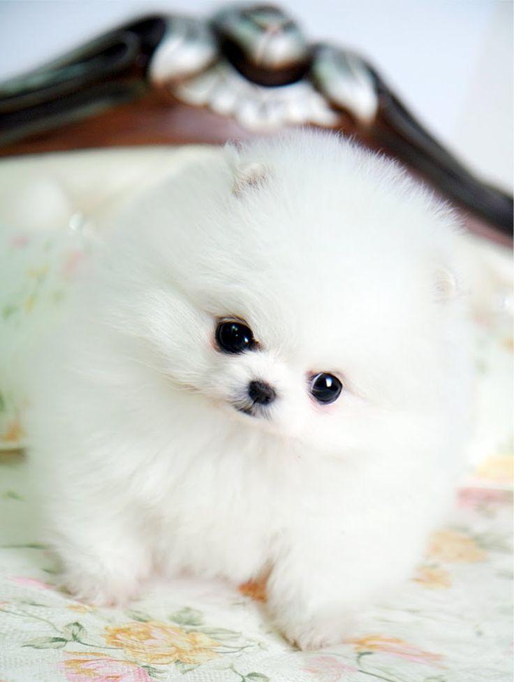 Fluffy white pomeranian puppy