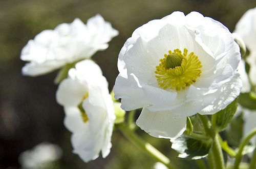 mount cook lily ranunculus lyallii - Google Search