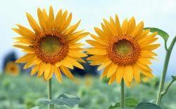Flor de Girassol - Segundo uma crença popular, a semente do girassol, quando deixada ao sol, pode curar a infertilidade. Na Hungria, acreditam que se na casa onde mora mulher grávida forem colocadas sementes de girassol na janela, a criança que nascer será homem. Na Espanha, quem tem 11 girassóis tem a sorte do seu lado.