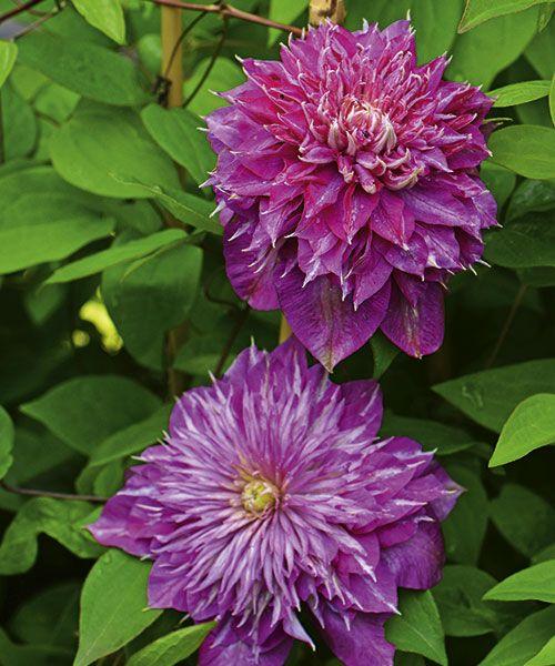 Plamének ´Kaiser´. Clematis. Mimořádně povedený plnokvětý plamének. Růžové květy zvýrazněné světlým středem vyniknou na plotu, pergole či zkrášlí nevzhlednou zeď. Plaménky kvetou na loňském dřevě, proto je nezkracujte na jaře, ale až po odkvětu! Stanoviště: slunce - polostín, doba kvetení: květen - září, výška: asi 2 m.