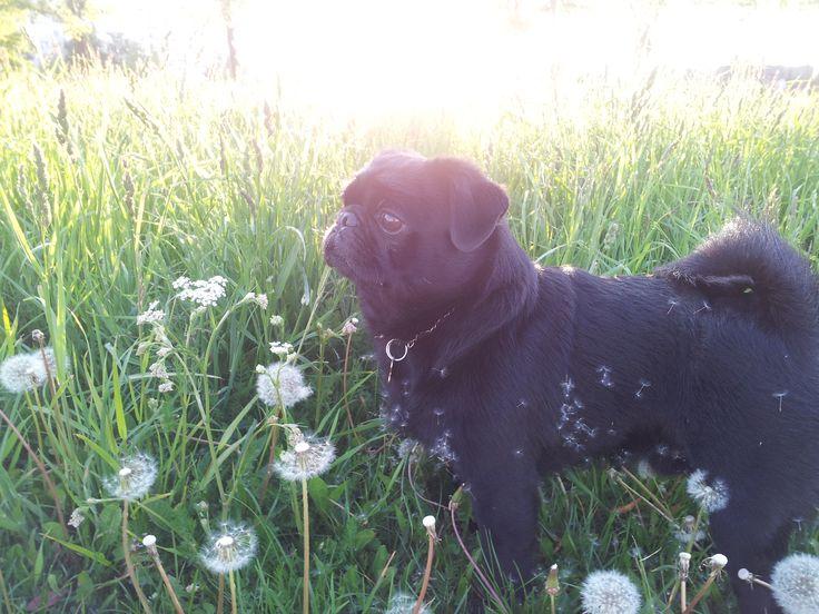 #pug #Gercog #love #black #best #dog  Beautiful dog. My little pug - Gercog. Мой любимый чёрный мопс по имени Герцог. Мопс на мой взгляд одна из самых чудесных пород собак. Ласковые, отзывчивые и очень весёлые. Настоящие друзья, которые всегда готовы оказаться рядом в сами и согреть своим теплом ;)))