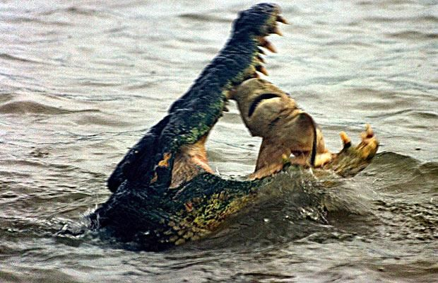 A 15ft saltwater crocodile eats a shark on the Wildman River, Northern Territory, Australia