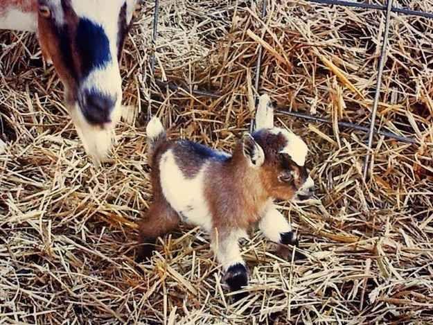 Und diese neugeborene Ziege, die so aussieht, als wäre sie bereit, es mit der Welt aufzunehmen.