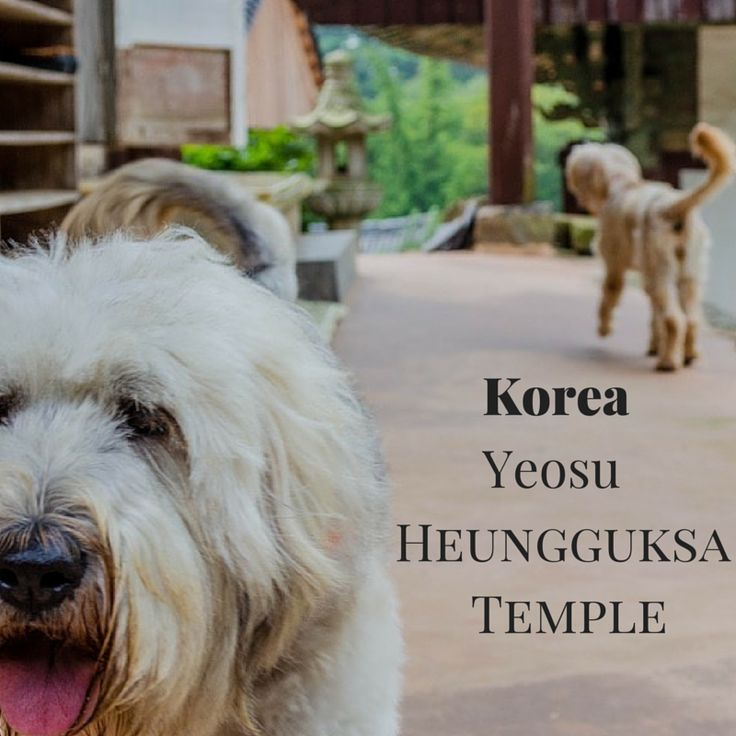 In #Yeosu, Heungguksa Temple is beautiful but more importantly, home to #cute and friendly dogs! #travel #korea
