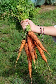 Carottes | Semis, entretien et récolte au potager