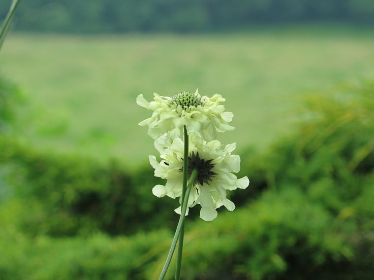 Skælhoved - juli-aug. - Cephalaria gigantia-22