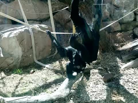 "Siamang Monkeys Mating Hoped to Hear Kids Crack Me Up... It Was Dad Instead Siamang Monkeys Mating at the Cheyenne Mtn Zoo little kids all around so I expected to hear something amusing... It was a father that simply says to his daughter ""Make good decisions Elise"""