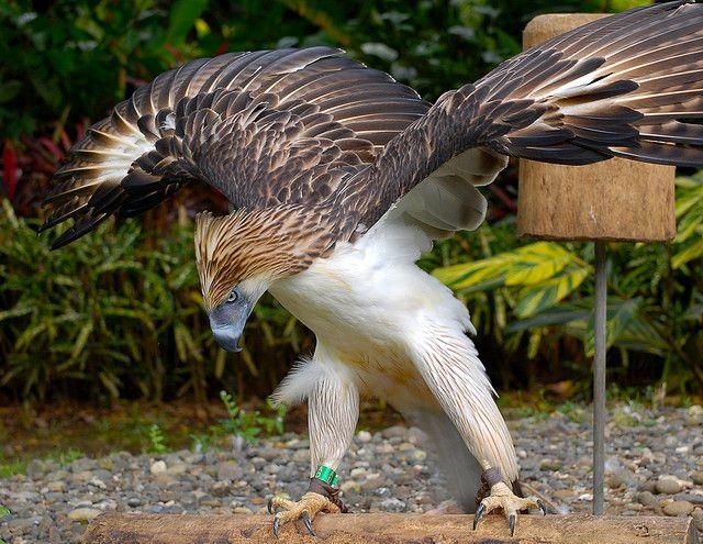 Philippine Eagle (AKA Monkey-eating Eagle)