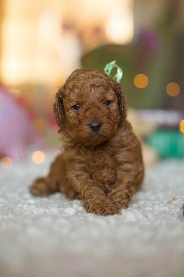Our Tiny Golden Doodles Are The Result Of A Cross Between A