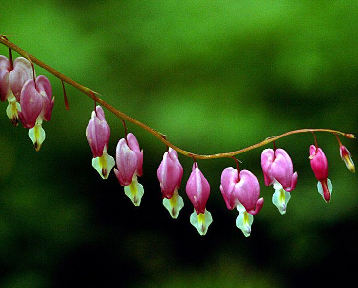 41 best images about washington native plants on pinterest