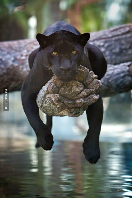 A black jaguar just chillin'