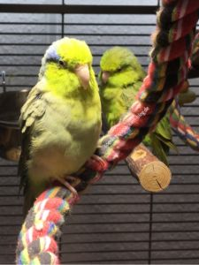UV-Beleuchtung für Sperlingspapageien, Papageien, Sittiche und andere Vögel | Parrotlets