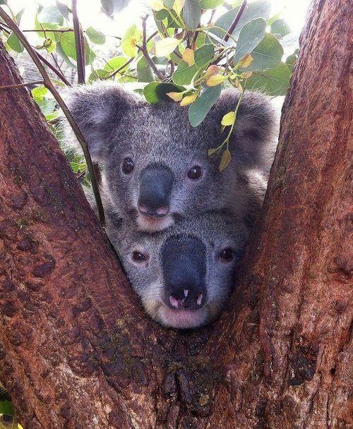Funny Wildlife, Cute Koala Duo in Tree!