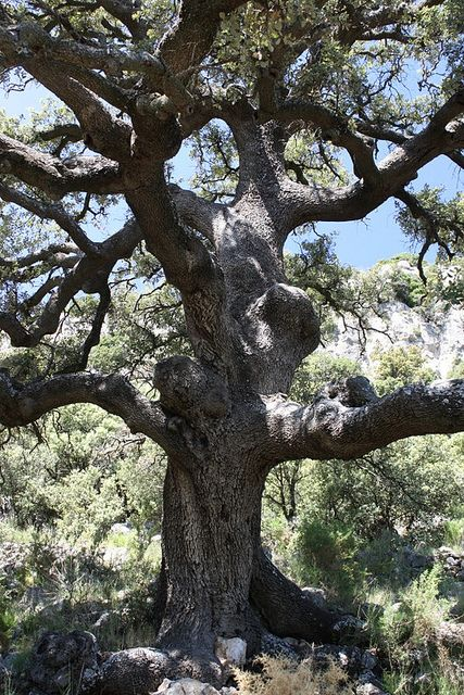 500 year old oak tree near the Mas de Maña
