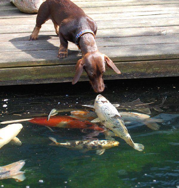 Dog kissing koi fish adorable our chocolate lab rocky for Koi pond labradors