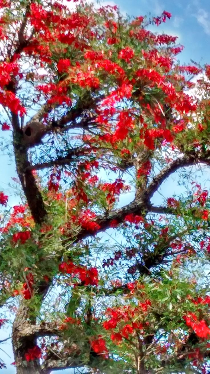 R- Árbol de Ceibo,flor nacional de Argentina-