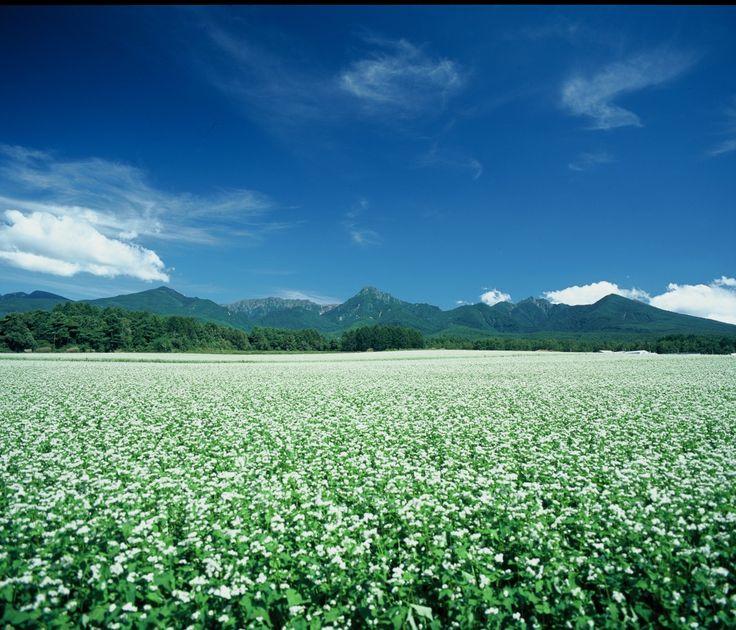 そば畑と八ヶ岳連峰