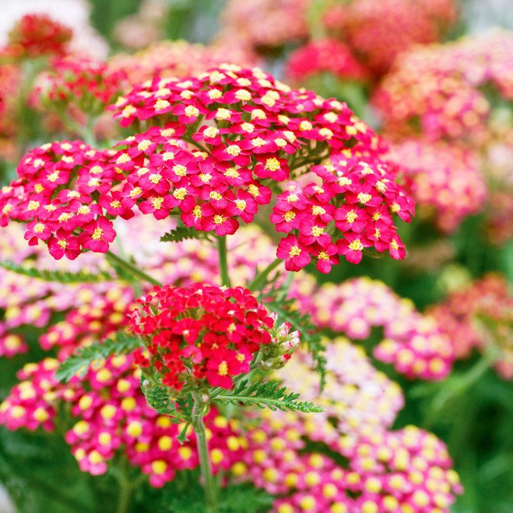 Yarrow - Knock-Out Native Plants - Sunset