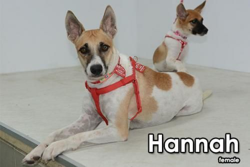 Hannah Moon is an adoptable Mountain Dog searching for a forever family near Shoreline, WA. Use Petfinder to find adoptable pets in your area.