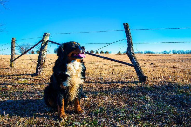 Mr. Bear the #bernesemountaindog  sitting by the field at Grandma's farm. Check out that blue sky!  My buddy my pal my friend #doggiebff  #brownfootbear #brownfootbearphotography #photography #gunnarwilliamsphotography #gunnwilliams #dog #dogs #dogsofinstagram #dogoftheday #woof #mustlovedogs #withdog #love #boyandhisdog #KansasCity #kc #Kansas #ks #kansasphotos #summer #noplacelikeks #KANSASmag #farm #berner #bernese