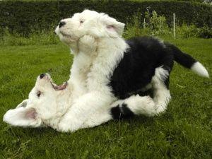 old english sheepdog photo | Opdræt | Old English Sheepdog Klubben i Danmark