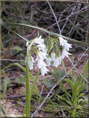 Allium triquetrum L. – G bulb – W-Steno-Medit. – margini delle strade, radure, macchie e boschi; c.