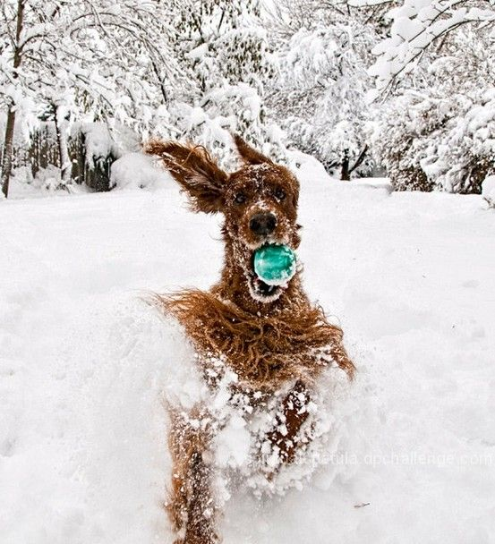 irish setterPuppies, Ball, Irish Set, Winter Wonderland, Snow, Plays, Fun, Happy Dogs, Animal