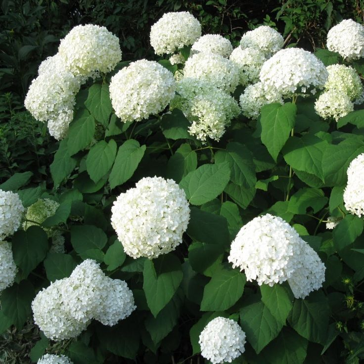 17 best ideas about hydrangea arborescens annabelle on. Black Bedroom Furniture Sets. Home Design Ideas