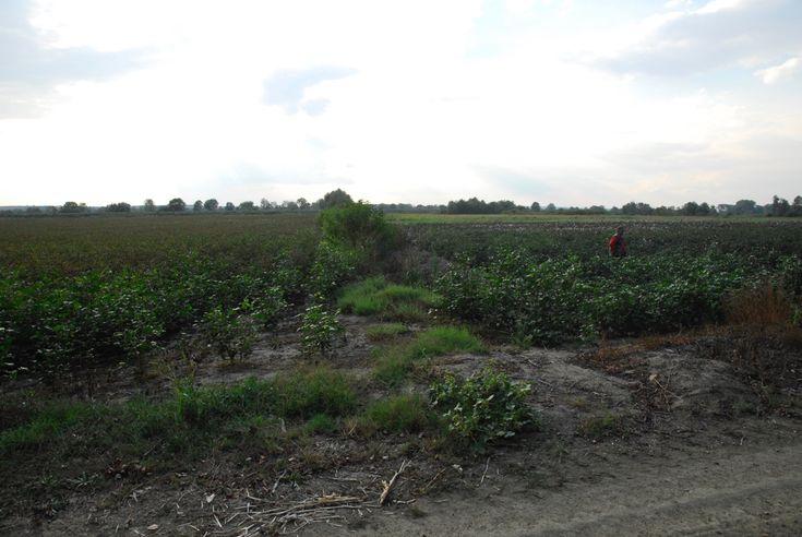 Καλλιέργεια βαμβακιού με ζεόλιθο στο Πύθιο Νέας Ορεστιάδας