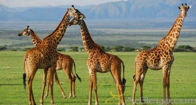 تفسير رؤية الزرافة في المنام أو الحلم ومعناة ابن سيرين الامام الصادق الزافة للعزباء بالمنام الزرافة Giraffe Animals