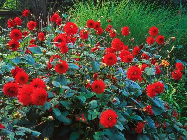 HGTV provides tips and know-how on how to properly plant your dahlias.
