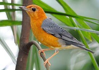 Burung Anis Merah di Atas Pohon #burung #bird #anismerah #pets #livestock #animals #hewan #photography