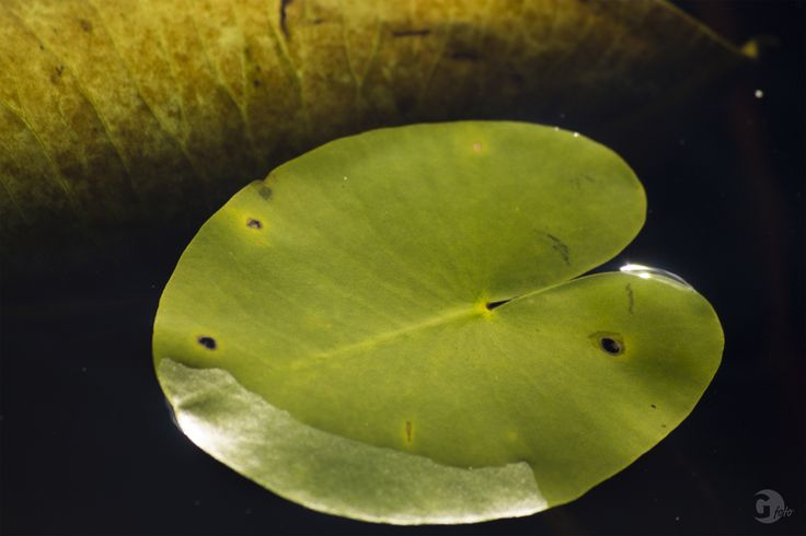 Waterlily leaf