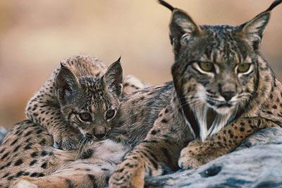 lynx | Iberian lynx make a come back « quintessentialruminations