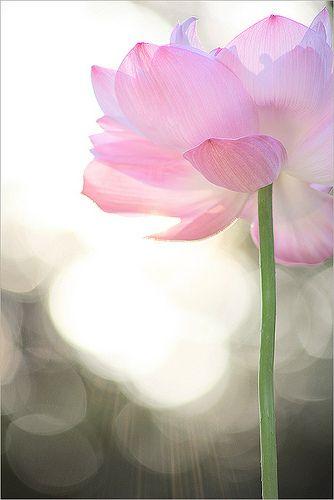 Lotus Flower at SunSet - IMG_6143-1