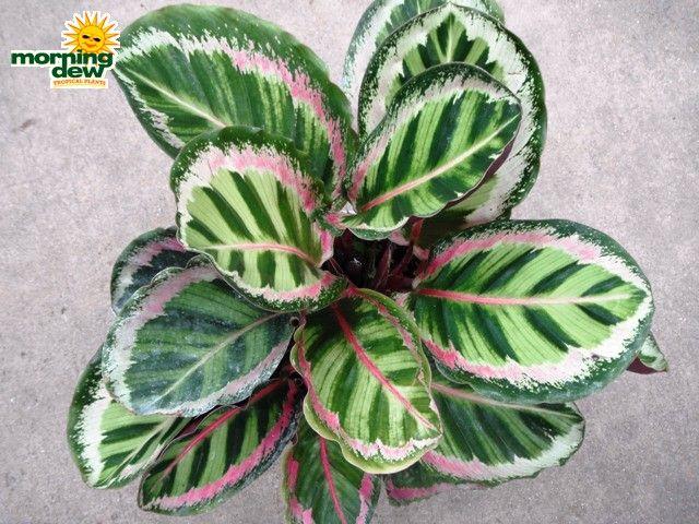 36 best guam images on pinterest Calathea plants for sale