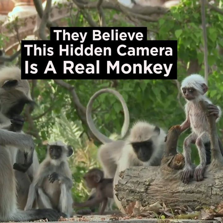 They thought the fake baby monkey had died and held a 'funeral'   Credit: BBC On...