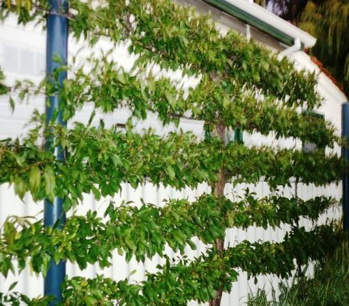 Espalier Peach Tree Agaist Wall   Against The Garden Shed?