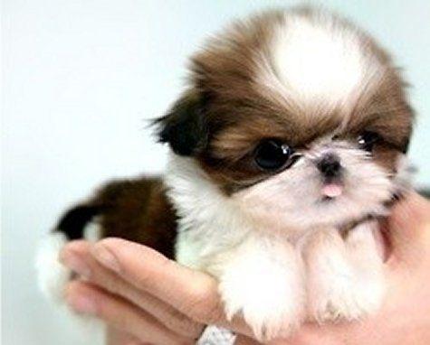 Cute Teacup Puppy