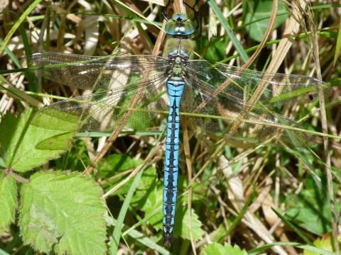 Emperor Dragonfly: in its birthday suit | Nature Notes from Dorset