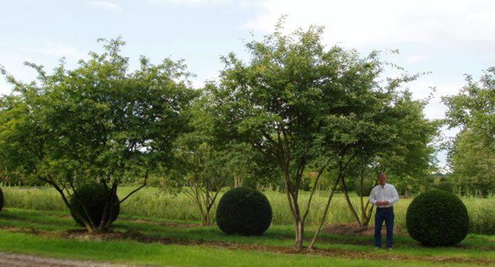 amelanchier lamarckii snowy mespilus garden. Black Bedroom Furniture Sets. Home Design Ideas