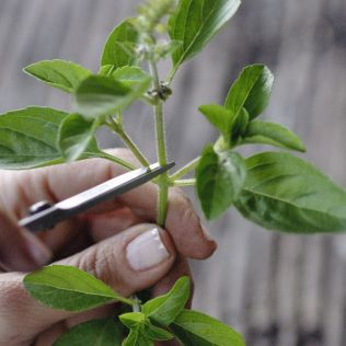 Hora da poda e colheita: cuidados necessários | Viveiro Orgânico de Ervas e Temperos Sabor de Fazenda