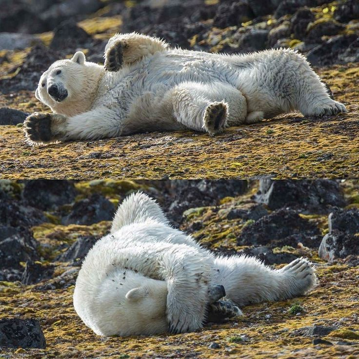 The Mascot!  @Regranned from @natgeo -  Photo: @andy_mann // Sometimes you just dont want your photo to be taken. I totally get it. Youre hot the sea ice is gone seals are no where to be found and youre not feeling yourself today. This polar bear as cute and cuddly as he looks is suffering a harsh reality feeding on bird eggs kelp and seagrass for the next few months until the winter ice returns. Photographed on assignment for @natgeo & @natgeopristineseas in 2013 with @coryrichards…