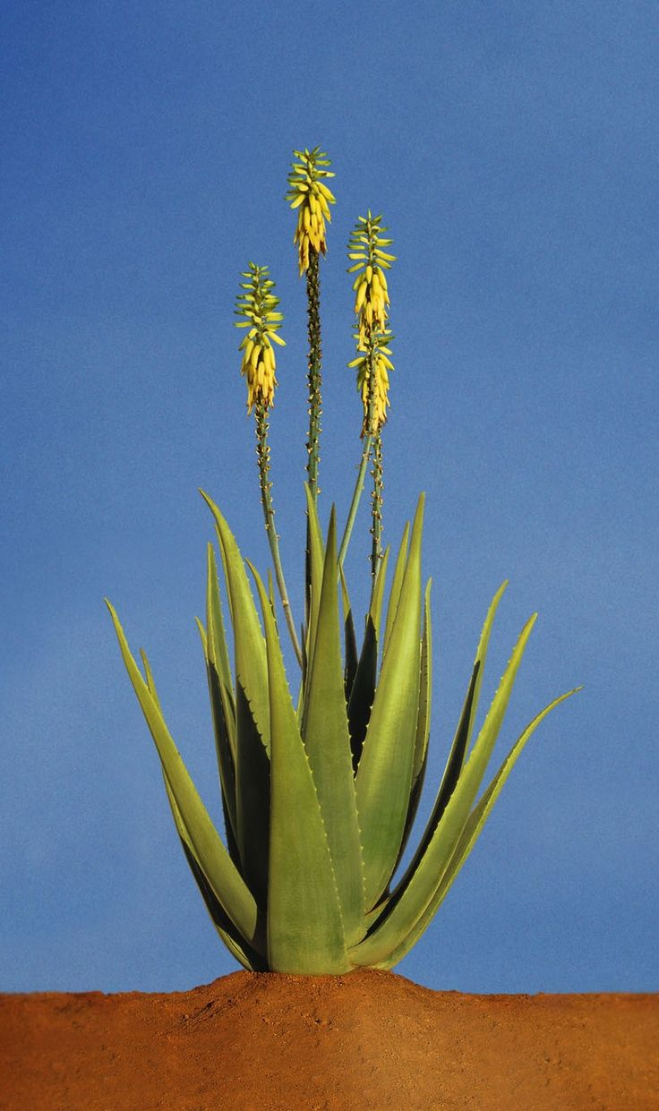 Aloe Vera Plant - The primary ingredient of almost all of our products.