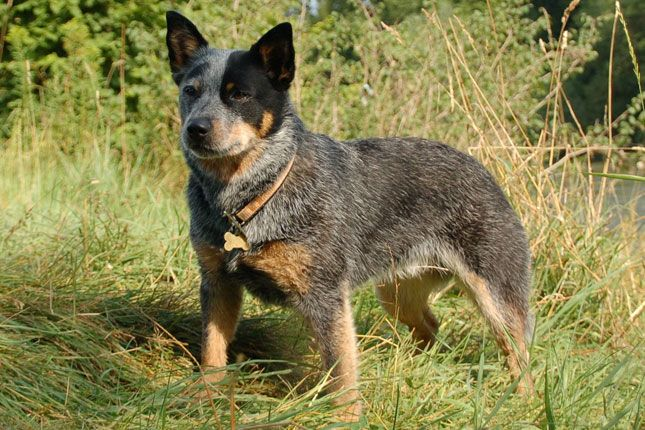 Australian Cattle Dog/Blue Heeler thinking about getting one today to help with cattle and horses at the farm. Our olé girl fifa is on the outs. :(