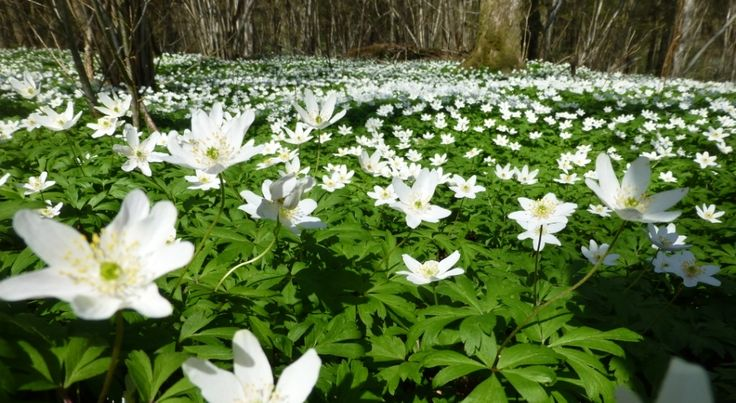 Anemone nemorosa is an early-spring flowering plant.