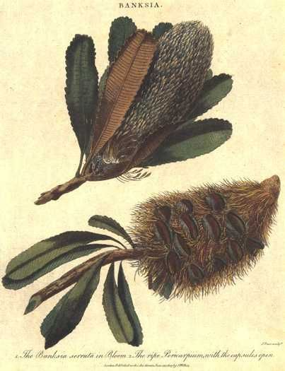"Australian Banksia Serrata in flower with Pericarpium (seed pod) c1807 by John Wilkes. Hand-coloured copperplate engraving by J. Pass for Arthur Phillips' first official account of ""The Voyage to Botany Bay"" First Fleet engravings originally published in London."