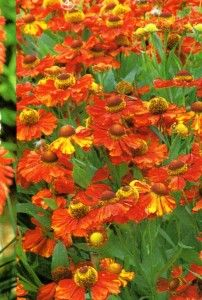 Helenium U0027Sahinu0027s Early Flowereru0027 · Tips OnlineSmall GardensGardening ...
