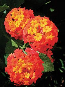 28. Texas lantana (Lantana urti-coides or L. horrida)—Blooms nearly year round in South Texas, April to Octo-ber in Central and East Texas, ...